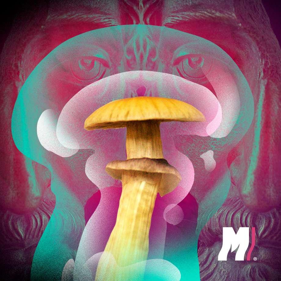 Para qué sirven los hongos alucinógenos